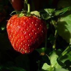 Клубника сорт зефир: сверхранняя ягода для трудолюбивых садоводов