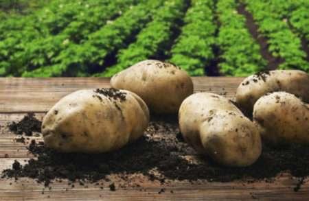 Сорт картофеля елизавета характеристика отзывы