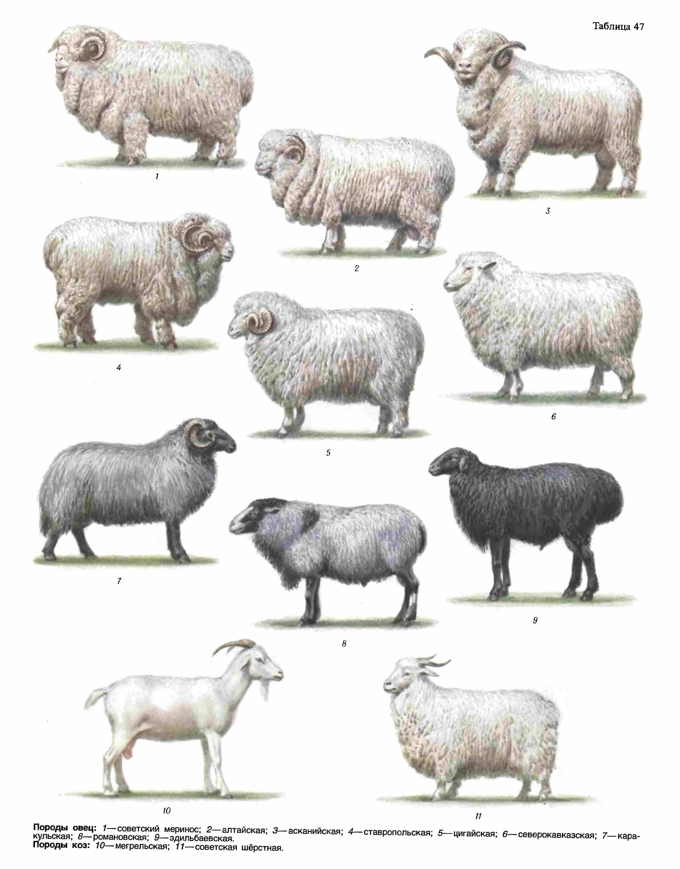 Породы овец: описание, характеристика, условия содержания