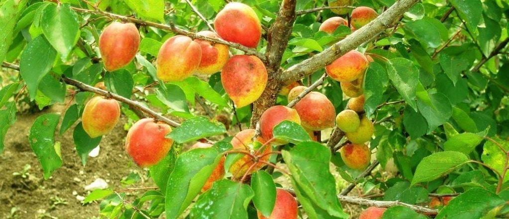 Выращивание абрикоса на урале