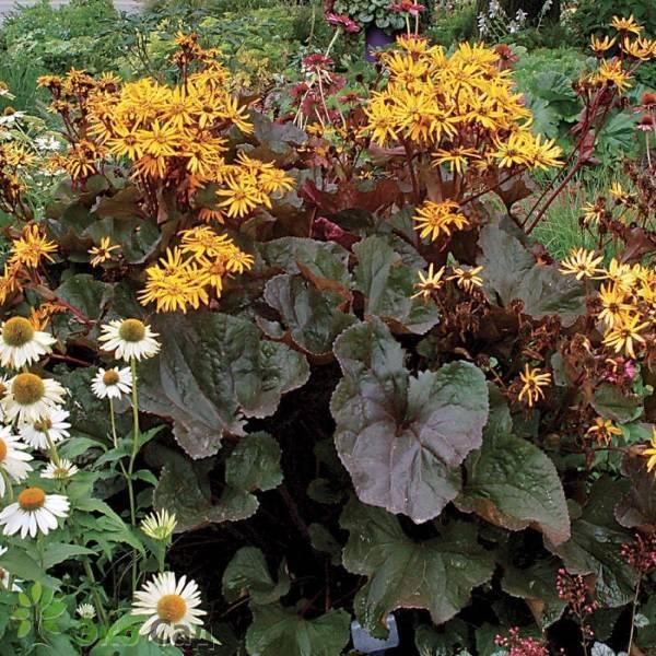 Лучшие сорта бузульника: описание и характеристики видов растения