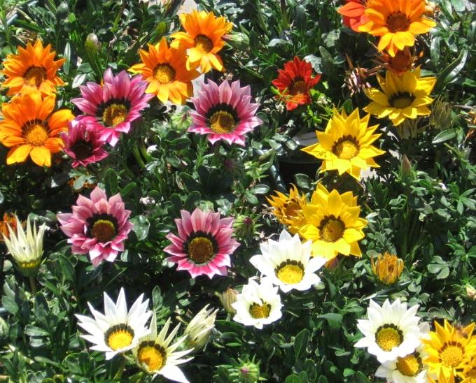 Ромашки садовые многолетние: описание сортов, фото, посадка и уход