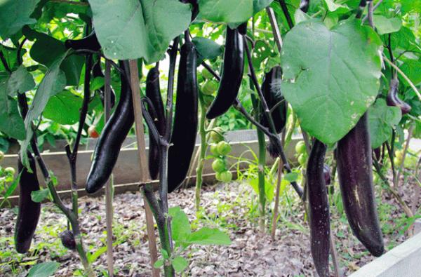 Баклажаны на грядке: как вырастить без теплицы
