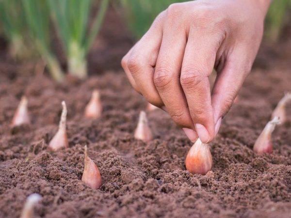 Как обрабатывать лук марганцовкой перед посадкой - как развести раствор