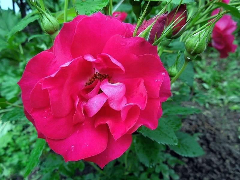 Канадские розы: описание сортов, уход в домашних условиях