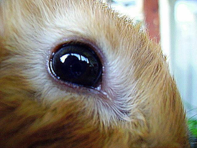 Заболевание глаз у кроликов и их лечение