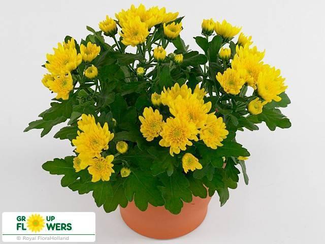 Выращивание хризантемы индийской (уход в открытом грунте и в домашних условиях)