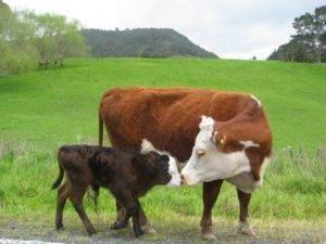Способы осеменения коров (искусственное оплодотворение крс, бык осеменитель)