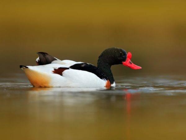 Утка огарь, или красная утка: описание вида и содержание