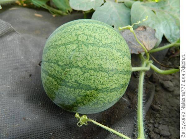 Как вырастить арбузы и дыни в средней полосе и подмосковье