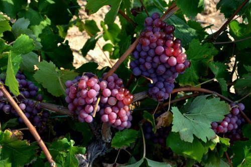 Соседи и враги винограда