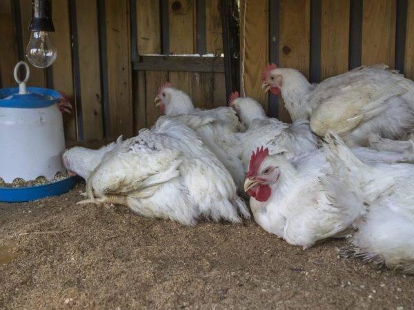 Методы эффективной борьбы с глистами у кур