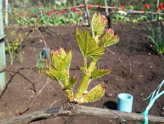 Обломка зеленых побегов (пасынков) винограда