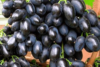 Идеальный выбор для молодых садоводов — виноград памяти негруля