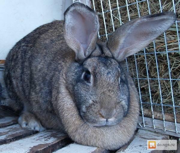 Популярные кролики мясных пород
