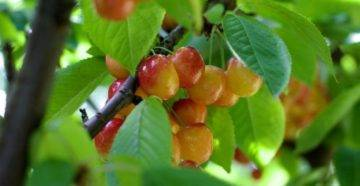 Самые зимостойкие сорта черешни для сибири, урала и других регионов россии