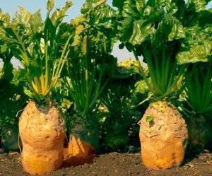 Свекла кормовая эккендорфская желтая: описание сорта, посадка и уход, сбор и хранение урожая, а также вредители, болезни и профилактика проблем