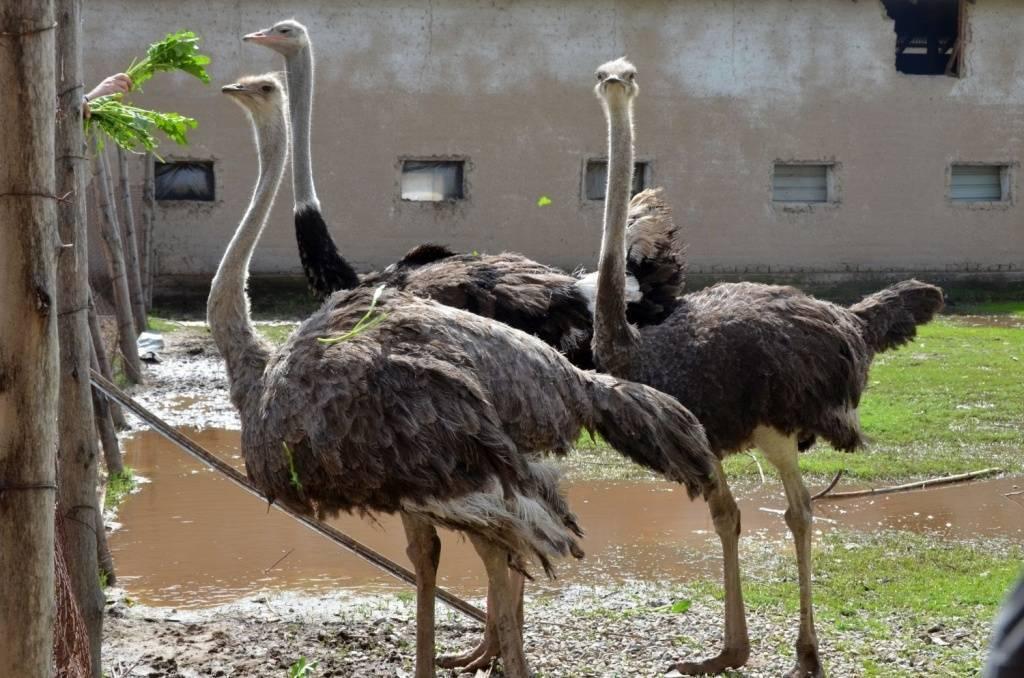 Сколько можно заработать на разведении страусов?