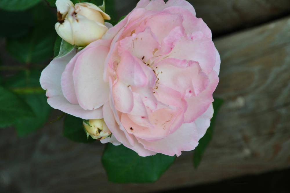 Роза амелия энциклопедия роз. описание сорта розы «амелия» с отзывами и фото