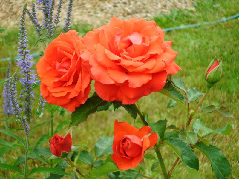 О розе Kordes brilliant: описание и характеристики сорта чайно гибридной розы