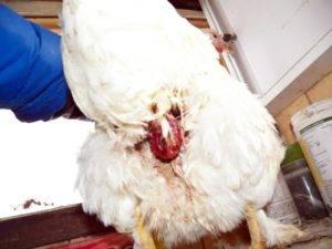 Что такое сальпингит у домашней птицы и почему возникает воспаление яйцевода у несушек? - общая информация - 2020