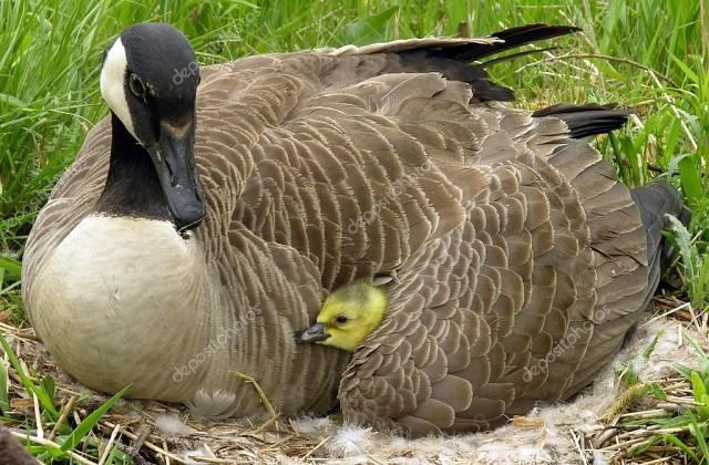 Как посадить гусыню на яйца: добровольная и принудительная посадка, подкладывание яиц