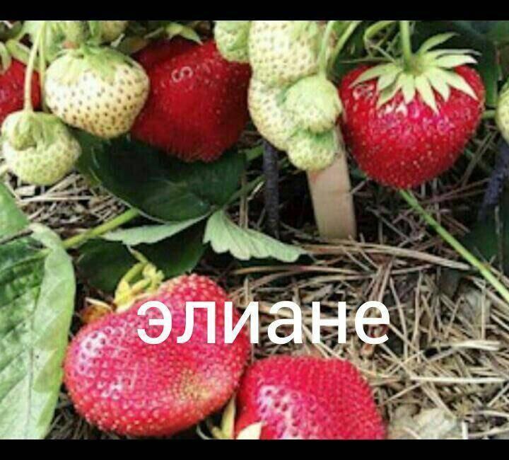 Клубника онда — сорт с удивительным арбузным вкусом