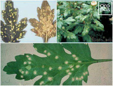 Болезни хризантем (что делать, если желтеют листья, как избавиться от тли)