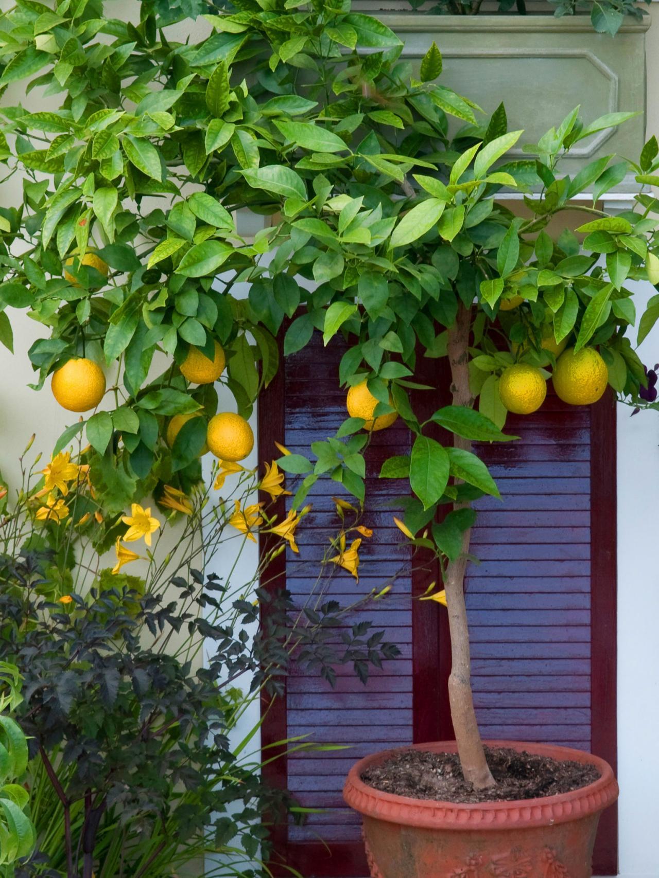 Как вырастить апельсин из косточки дома— цитрусовый сад на подоконнике