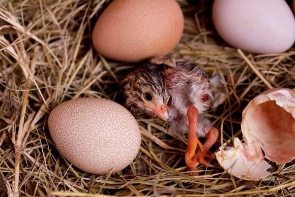 Яйца цесарки: их польза и вред, калорийность и остальные свойства