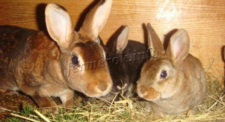 Кокцидиоз у кроликов - действенные методы лечения и профилактики