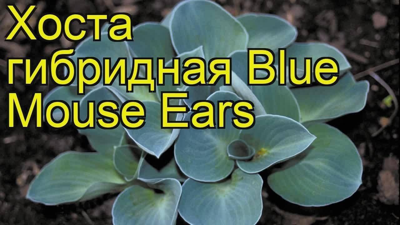 О хосте мышиные ушки: описание и характеристики сорта blue mouse ears