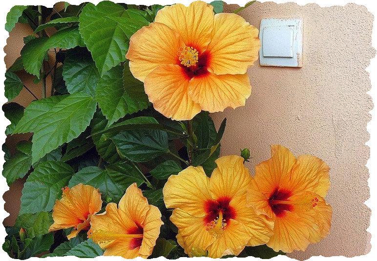Почему не цветет китайская роза в домашних условиях: что делать, когда не распускается гибискус, причины, уход за комнатным растением в квартире