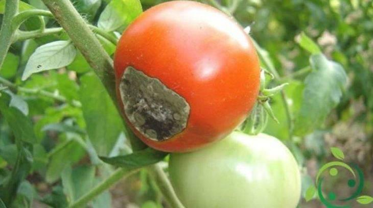 Фузариозное увядание помидор: симптомы и способы лечения