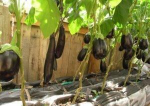 Уход и выращивание баклажан — схема подкормки и внесения удобрений
