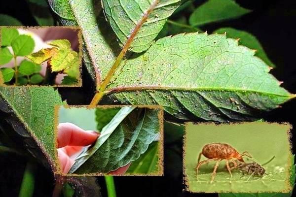 Чем обработать розу от паутинного клеща