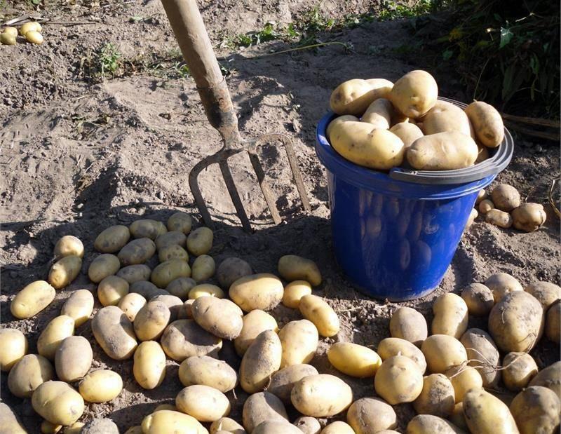Посадка картофеля на дачном участке: как не копать и не окучивать? картофельная грядка: выращивание без окучивания