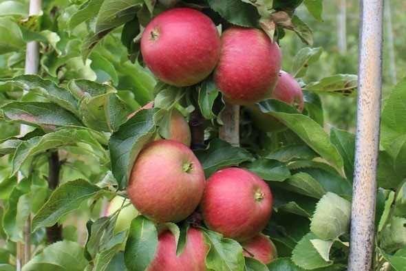 Сорт яблони васюган колоновидная – описание, фото