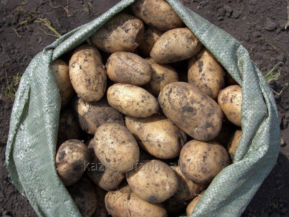 Картофель ред леди: описание и характеристика сорта, урожайность, отзывы, фото