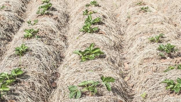 Богатый урожай без хлопот: мульчирование опилками клубники, огурцов, томатов, роз, малины и других культур