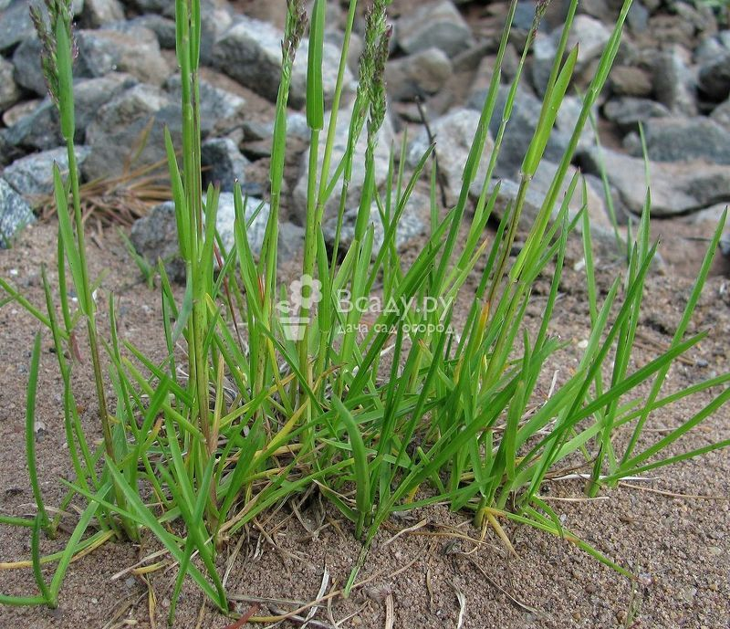 Мятлик луговой на фото. газон в саду