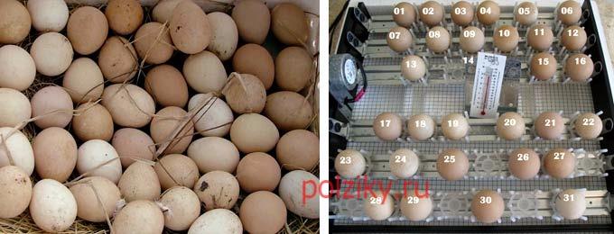 Яйца цесарки: свойства, состав, польза и вред, особенности использования - питание - vitaminov.net