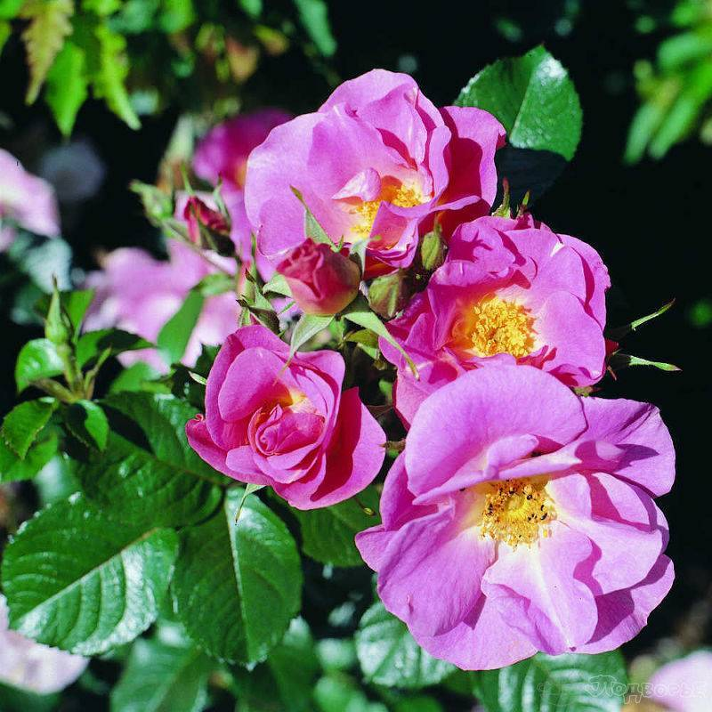 Rosa 'pink robusta' — википедия переиздание // wiki 2