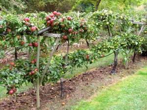 Совместимость плодовых деревьев - какие можно сажать рядом друг с другом