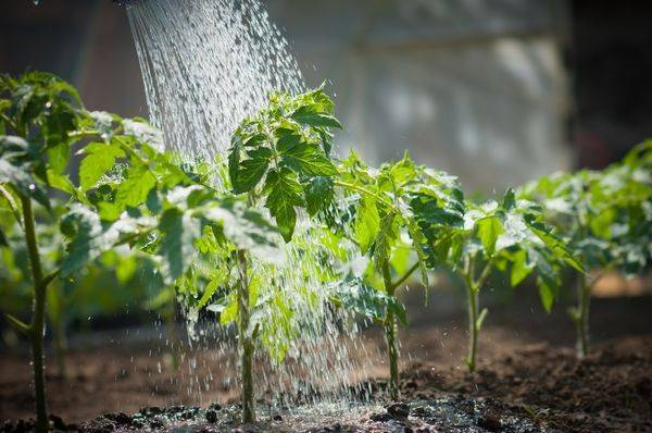 Основные правила и нормы полива капусты в открытом грунте