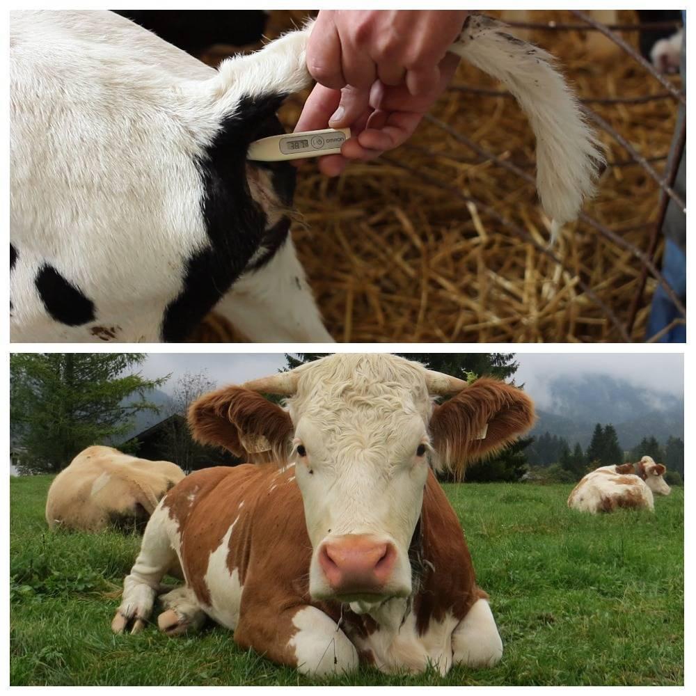 Что делать, если у коровы понос