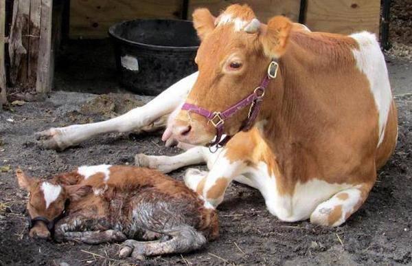 Смотреть как рожает корова