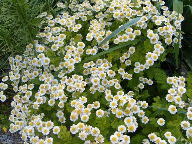 Садовые цветы, цветущие все лето: описание и фотографии