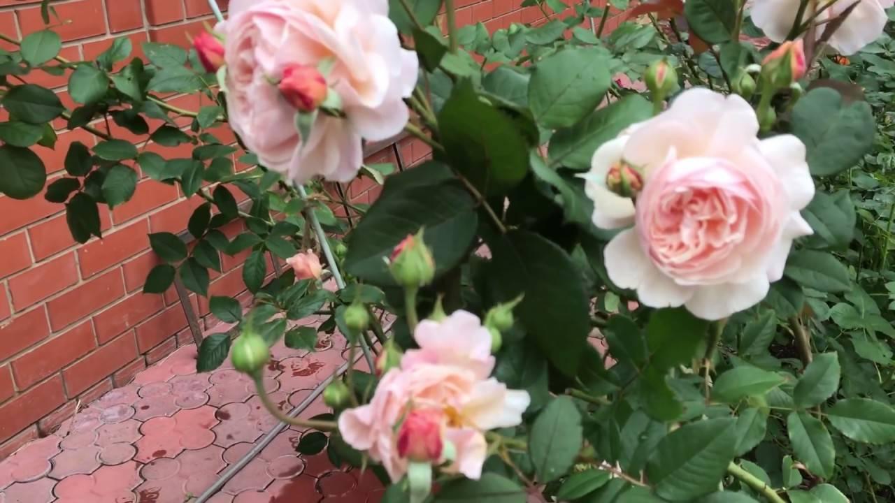 Kardinal — малиновая чайно-гибридная роза от компании kordes