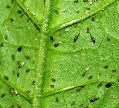Как защитить огурцы от тли, методы борьбы с огородными вредителями
